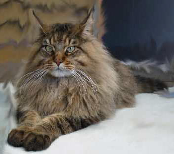 Mackerel Tabby Maine Coon